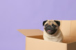 Cute pug dog in cardboard box on color background