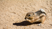 Mojave Ground Squirrel Xerospe...