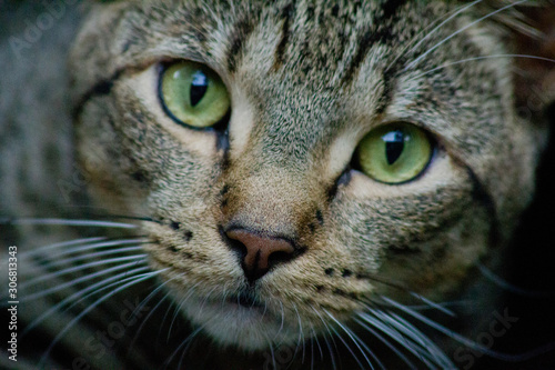 Tabby Cat with Bright Green Eyes and Long Whiskers Looking at Camera