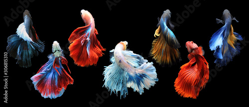 Fototapeta Betta fish, siamese fighting fish, betta splendens isolated on black background, fish on black background, Multi color Siamese fighting fish, obraz