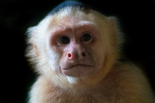 White Faced Capuchin Monkey, C...