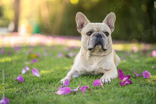 Obraz Cute french bulldog lying on grass under Bauhinia purpurea tree in the garden. - fototapety do salonu