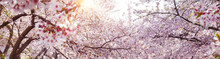 Spring Banner Background With Full Bloom Cherry Flowers And Sun Flare.