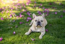 Cute French Bulldog Lying On G...