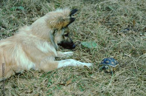 Gopher Tortoise (Gopherus Polyphemus) Baby with playful Dog Canvas Print
