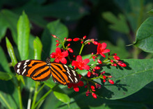 Heliconius Hecale, The Tiger Longwing, Hecale Longwing, Golden Longwing Or Golden Heliconian Butterfly, Side View Drinking Nectar From Small Red Flowers.