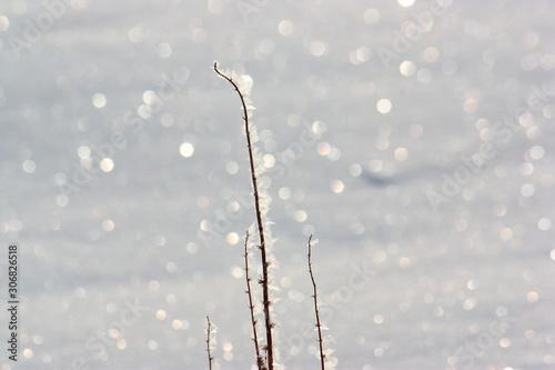 Fototapeta 氷点下の雪原の煌めき。氷を纏った枯草と太陽の光に輝く雪面。