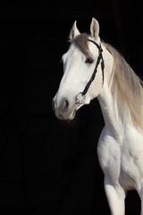 Obraz na Szkle Koń White Andalusian horse portrait