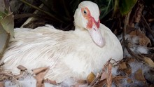 White Muscovy Duck Sitting On ...