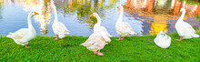 White Goose Standing On Green ...