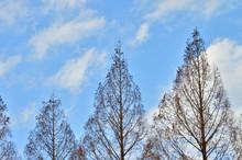 落葉した冬のメタセコ...