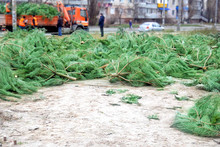 Christmas Trees After The New Year Lie On The Ground Street For Removal And Disposal, Outdoors, Deforestation Concept