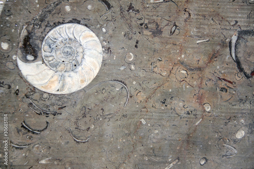 Petrified fossil ammonite shell in stone Canvas Print