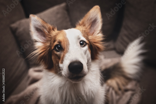 Foto Cute mixed breed dog looking to the camera, pet portrait at home