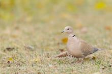 A Eurasian Collared Dove Walki...