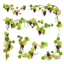 Vine Decor, Grapes Bunches On ...