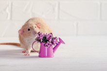 Light Brown Rat Dambo With Funny Ears Sits On A White Background With A Watering Can With Purple Flowers, A Concept For A Spring Or Woman Day And For Greeting Card
