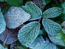 Closeup Of Frosty Leaves With ...