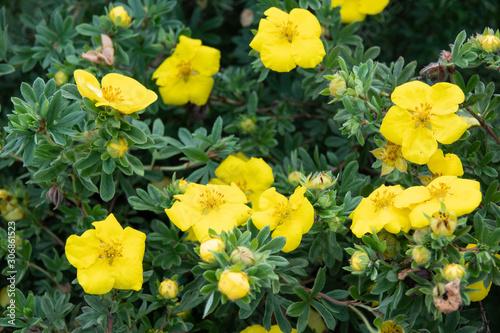 Vászonkép  Potentilla fruticosa Goldstar Shrubby Cinquefoil in England