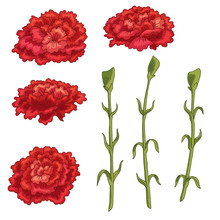 Carnation Flower Graphic Color Isolated Sketch Set Illustration Vector