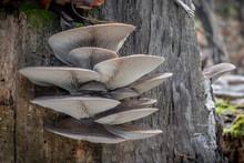 Edible Mushroom Pleurotus Ostreatus Known As Oyster Mushroom