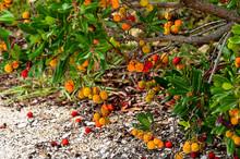 Evergreen Strawberry Tree (Arb...