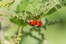 Multicolored Asian Ladybird / Ladybug (Harmonia Axyridis) Copulation On A Leaf. Macro Of Adult Harmonia Axyridis, Harlequin, Multicolored Asian, Asian Ladybeetle On Leaf