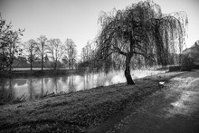 Willow Tree On The Bank Of Riv...