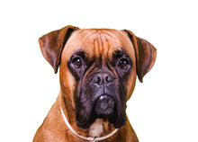 Portrait Of Cute Boxer Dog On ...