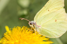 A Common Brimstone Butterfly (...