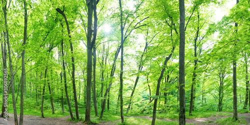 Panorama krajobrazu zielonego lasu z drzew i światło słoneczne przechodzące przez liście