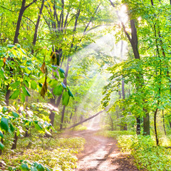 Fototapeta Las Green forest with autumn trees, footpath and sun light through leaves and fog