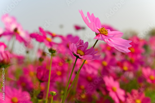 side view red color beautiful daisy or Cosmos bipinnata Cav
