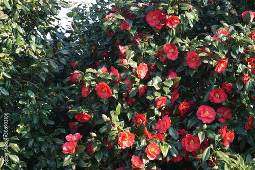 Tableau sur Toile 椿の花