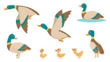 Wild Ducks. Young Swimming Bir...