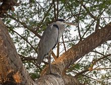 Grey Heron Stood On Brach In Tree