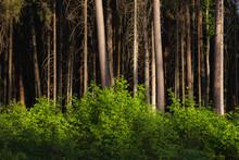 Pine Forest At Sunny Summer Da...