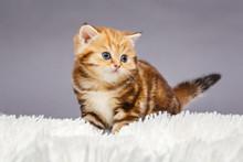 Little Red Kitten Of British  Breed