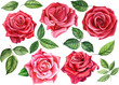 set red rose, beautiful flower on an isolated white background, watercolor illustration, botanical painting