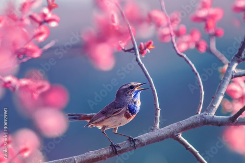 Obraz beautiful little Bluethroat bird with blue throat sits on a blooming rose Bush and sings in the may Sunny garden - fototapety do salonu