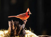 Red Cardinal Feeds On Meal Wor...