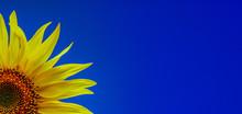 Sunflower Close-up. One Yellow...
