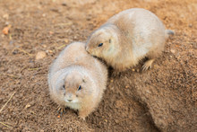 Two Black Tailed Prairie Dogs ...
