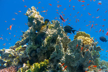 Beautiful Tropical Coral Reef With Shoal Or Red Coral Fish Anthias. Wonderful Underwater World With Corals, Tropical Fish, Cephalopholis Argus - Peacock Grouper Bluespotted Grouper. Amazing Background