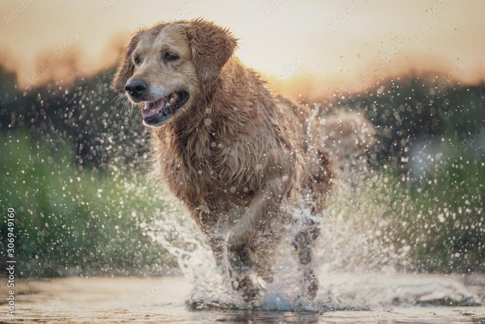 Fototapeta Dog running in the water
