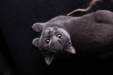 Grey Cat On A Black Background
