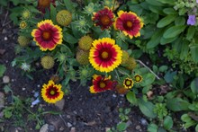 Red And Yellow Gaillardia Flow...