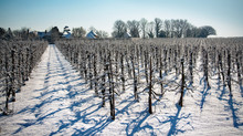 Apple Orchards In Snow, Kent, ...