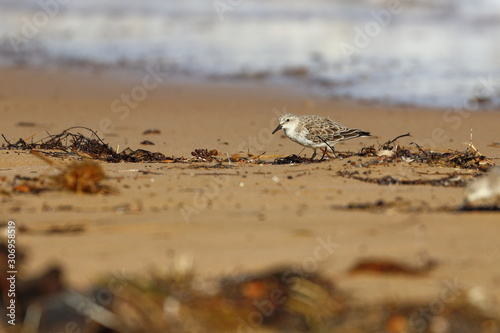 red necked stint Canvas-taulu
