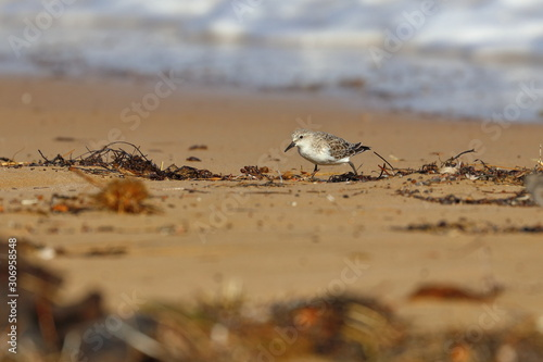 red necked stint Tablou Canvas